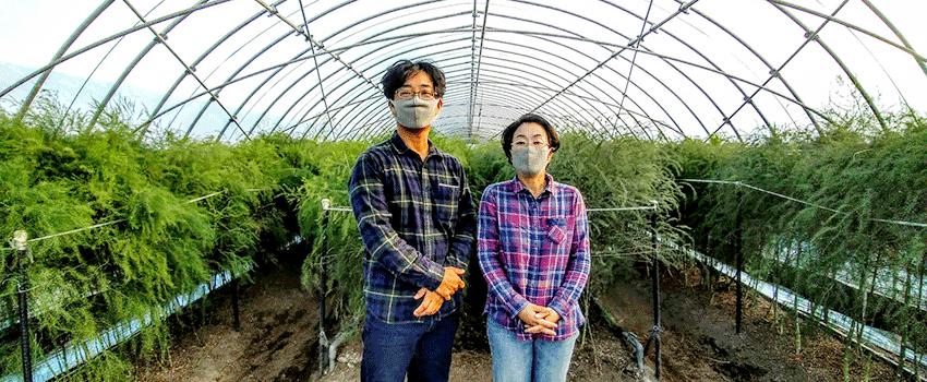 アスパラガスの遮光を省略 収量アップも 佐賀県鳥栖市 増田様